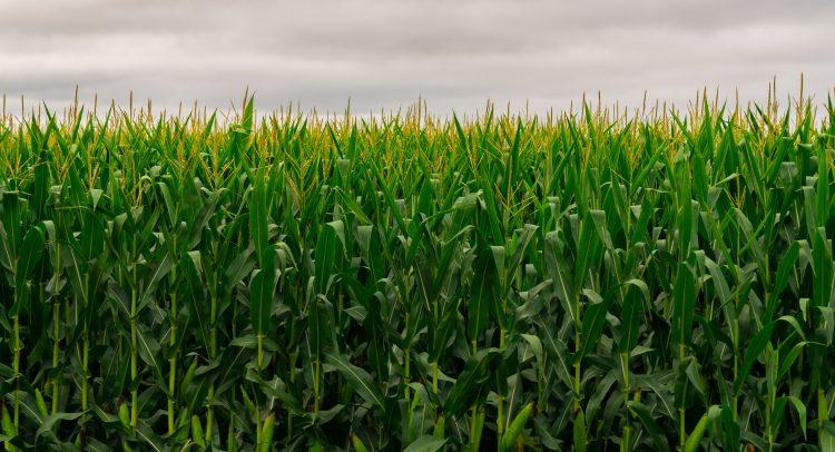 Exportaciones de maíz aumentaron 122%